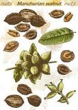 Manchurian walnut Stock Photos