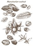 Manchurian walnut set of sketches Royalty Free Stock Images