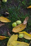 Manchurian walnuts and leaves. On the ground, in a botanical garden from Finland Stock Photos