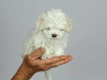 Manciata di cucciolo maltese Fotografia Stock Libera da Diritti