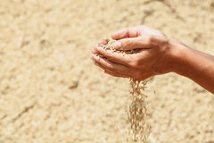 Manciata di grani non macinati ruvidi del riso in mani umane Fotografia Stock Libera da Diritti