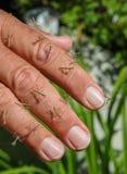 Manciata di insetti pregare del mantide del bambino sulle punte delle dita Fotografia Stock Libera da Diritti