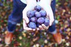 Manciata di prugne sui precedenti del giardino di autunno Immagini Stock Libere da Diritti