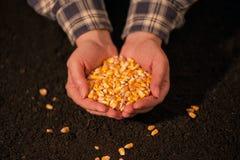 Manciata di seme raccolto del cereale Immagine Stock Libera da Diritti