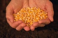 Manciata di seme raccolto del cereale Immagini Stock