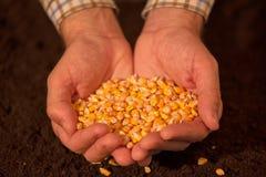 Manciata di seme raccolto del cereale Fotografia Stock