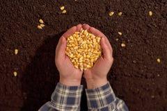 Manciata di seme raccolto del cereale Fotografie Stock