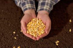 Manciata di seme raccolto del cereale Fotografia Stock Libera da Diritti