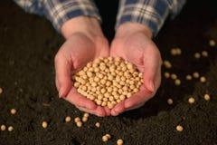 Manciata di seme raccolto del fagiolo della soia Fotografia Stock Libera da Diritti