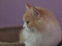 Mancoon cat Royalty Free Stock Photo