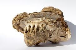Mandíbula prehistórico Imágenes de archivo libres de regalías