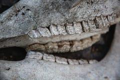 Mand?bulas con los dientes en el cr?neo del caballo en una tierra de piedra agrietada imagenes de archivo