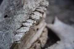 Mand?bulas con los dientes en el cr?neo del caballo en una tierra de piedra agrietada fotografía de archivo