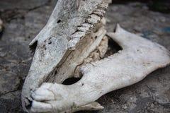 Mand?bulas con los dientes en el cr?neo del caballo en una tierra de piedra agrietada foto de archivo libre de regalías