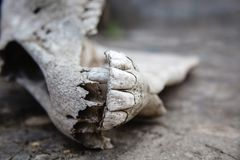 Mand?bulas con los dientes en el cr?neo del caballo en una tierra de piedra agrietada fotos de archivo
