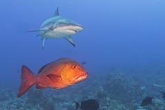 Mandíbulas grises del tiburón blanco listos para atacar un mero rojo Imagen de archivo