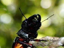 Mandíbulas potentes del escarabajo Foto de archivo libre de regalías