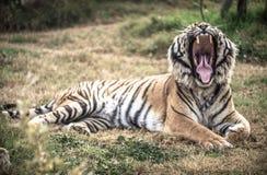 Mandíbulas y dientes de los tigres fotografía de archivo