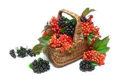 Mand met bessen van zwarte chokeberry en viburnum op een wit Stock Afbeeldingen