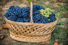 Mand met druiven Oogst van blauwe druif Voedsel, Bourgondië De herfst in de Tuin royalty-vrije stock fotografie