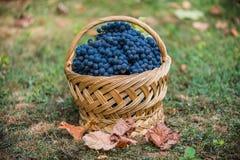 Mand met druiven Oogst van blauwe druif Voedsel, Bourgondië De herfst in de Tuin royalty-vrije stock afbeelding
