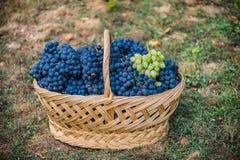 Mand met druiven Oogst van blauwe druif Voedsel, Bourgondië De herfst in de Tuin royalty-vrije stock foto's