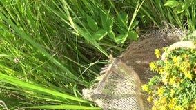 Mand met het verzamelde grasst John ` s wort op het gebied op de jute Het oogsten van geneeskrachtige installaties in de zomer stock footage