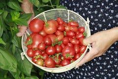 Mand met rode tomaten Stock Afbeelding