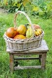 Mand pompoenen in de tuin Stock Foto