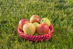 Mand van rijpe appelen op het gras Stock Foto