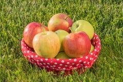 Mand van rijpe appelen op het gras Stock Foto's