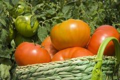 Mand van tomaten in de tuin Royalty-vrije Stock Afbeeldingen
