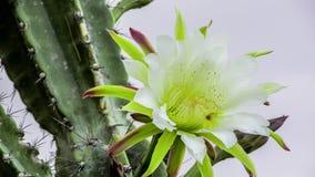 Mandacaru-Kaktusblume Stockfotos