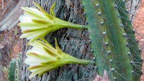 Mandacaru-Kaktusblume Lizenzfreie Stockfotografie