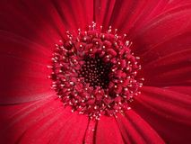 Mandala. Red gerbera daisy center, like a mandala Stock Photo