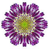 Mandala Chrysanthemum Flower Kaleidoscope Isolated på vit Royaltyfri Fotografi