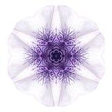 Mandala Morning Glory Flower Isolated concentrique blanche sur la plaine image libre de droits