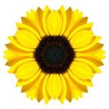 Mandala Sunflower Flower Kaleidoscope Isolated på vit arkivbilder