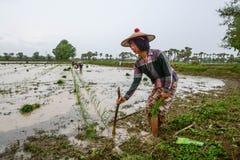 MANDALAY, MYANMAR - 31 JULI 2015: De landbouwers in Mandalay, Myanmar, planten rijst op het overstroomde gebied Stock Foto's