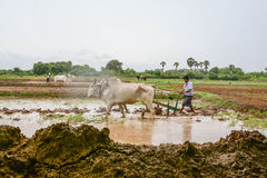 MANDALAY, MYANMAR - 31 JULY 2015: Farmers in Mandalay, Myanmar, are planting rice in the flooded field Stock Photography