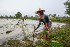 MANDALAY, MYANMAR - 31 JULY 2015: Farmers in Mandalay, Myanmar, are planting rice in the flooded field Stock Photos