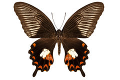 Mandane dei polytes di papilio di specie della farfalla Immagine Stock