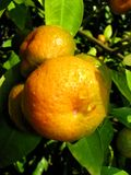 Mandarín Imagen de archivo