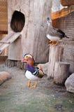 Mandarín del galericulata de dos patos foto de archivo