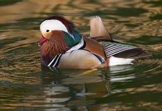 Mandarín Duck Male Foto de archivo libre de regalías