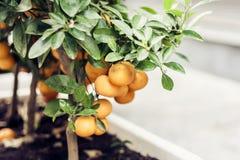 Mandar?n decorativo del ?rbol en un pote en la calle de Catania, Sicilia, Italia foto de archivo