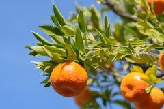 Mandarijn of mandarin op bladtak Stock Foto's