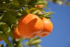 Mandarijn of mandarin op boomtak met bladeren Stock Afbeeldingen