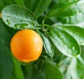Mandarijn op een citrusboom. Stock Afbeelding