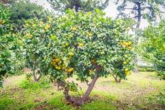 Mandarijn oranje boom Stock Afbeelding